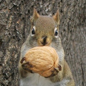 squirrel w walnut